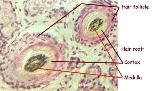 Bone cells microscope labeled