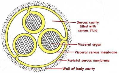Serous Membrane Layers