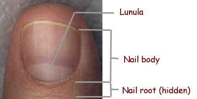 Where to find the lunula ('nail moon')?